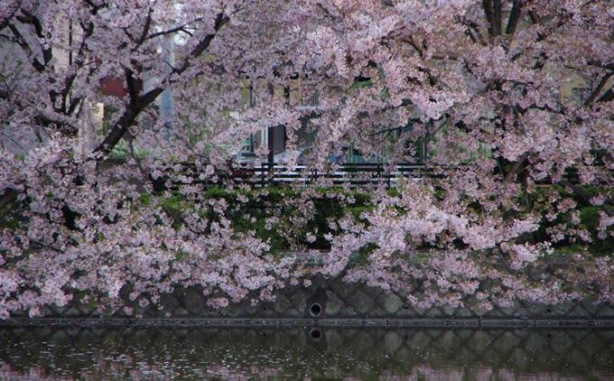九華公園のお濠の桜