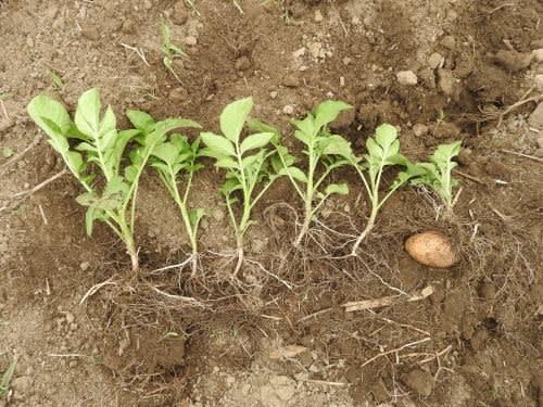 ジャガ芽挿し栽培の苗の植え付け