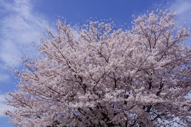 度会町の「宮リバー度会パーク」の桜見てきました〜(^^)