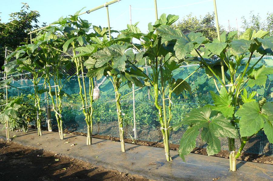 方 オクラ の 植え