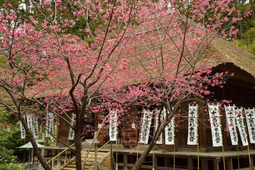 杉本寺の梅