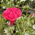 2006-5-28-14 ツル薔薇(名なし)