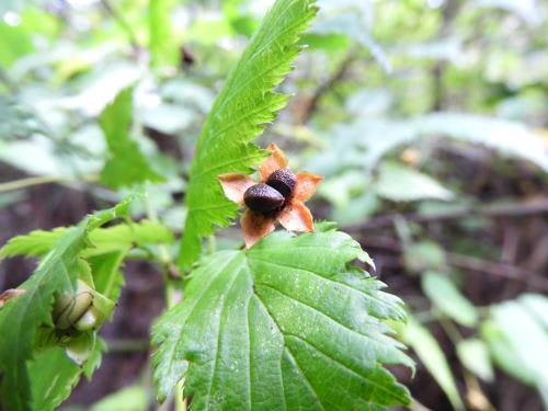 高ボッチ高原・鉢伏山で最近見る事の出来る実・種 ヤマブキ(山吹)