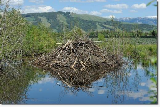 ビーバーは川にダムを造って、自分たちの棲みやすい環境を作ります。そうやってできたビーバーのお池をビーバーポンドと呼び、その中に彼らは木の枝と泥を組み上げて