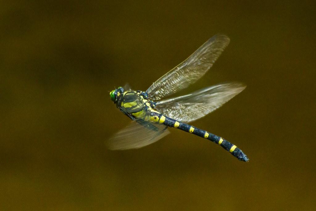 コオニヤンマ(メスの静止飛翔)の写真