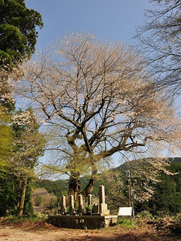 白木のエドヒガンザクラ