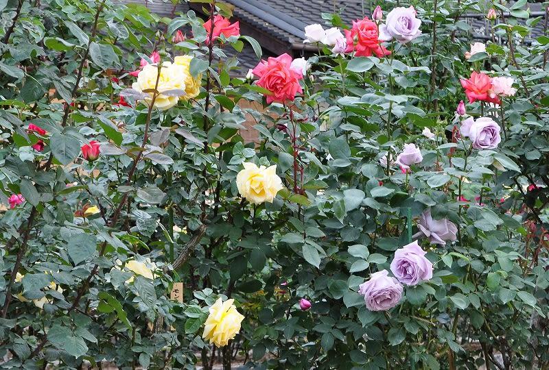 松尾寺のバラ (3)