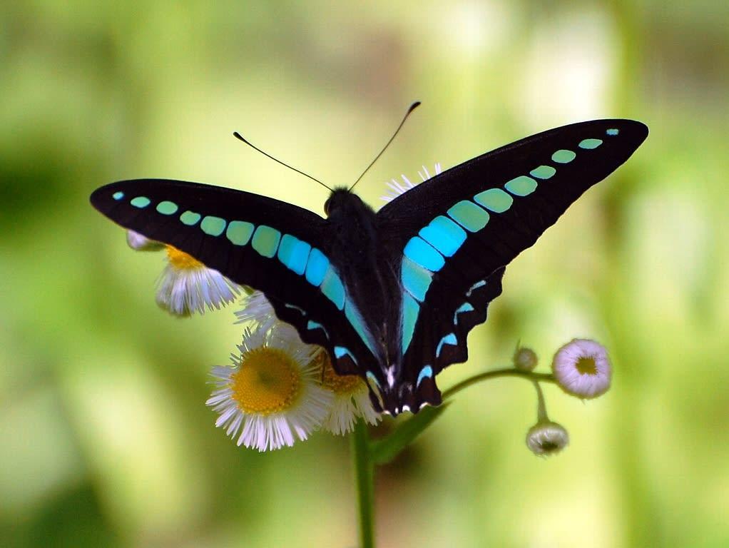 アオスジアゲハ : 【日本の蝶】美麗種まとめ - NAVER まとめ