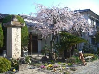 光政寺の桜