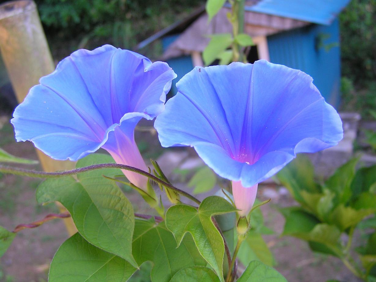 朝顔 今朝の庭の散歩ではブルーの朝顔が咲いていました。 ブルーは夏を涼...  ようこそムラシン