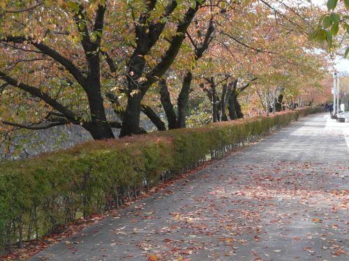 松本城堀端の桜の紅葉