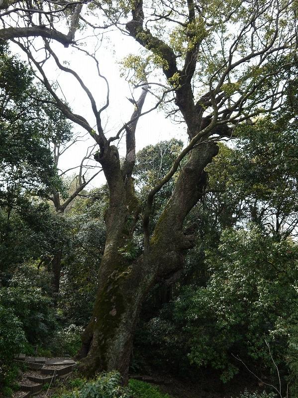 樟の巨樹全景