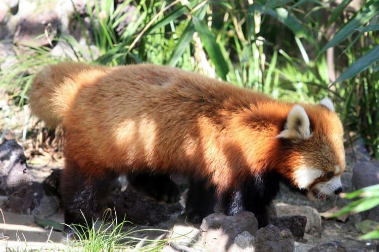 レッサーパンダの画像 p1_25