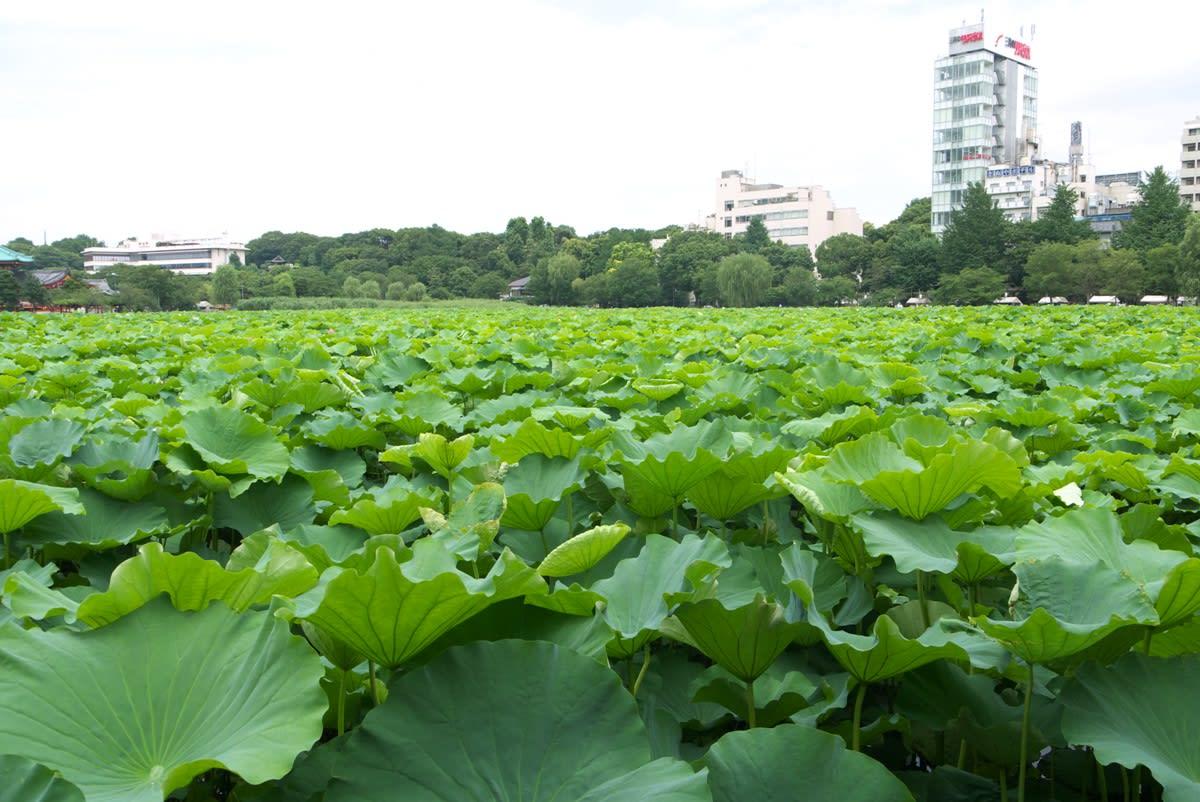 7月中旬の不忍池:蓮の葉に覆い尽くされた湖畔を散策する PART1  蓮の葉に覆い尽くされている