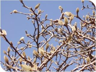 木蓮の蕾が大きくなっています、冬と春との分かれ道です