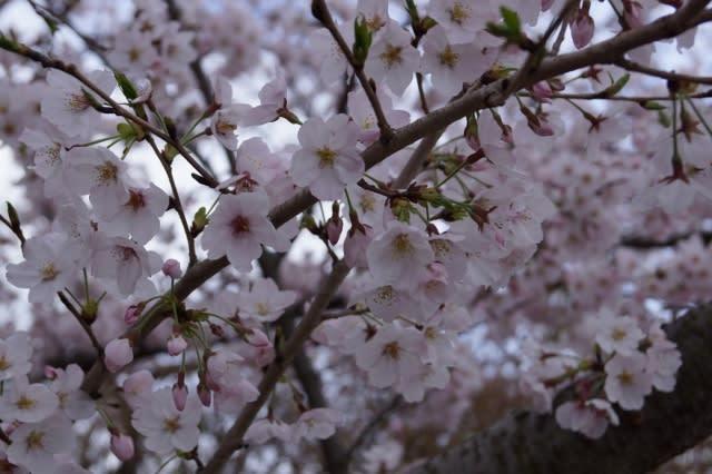 伊勢「宮川堤」の桜見てきました〜(^^)