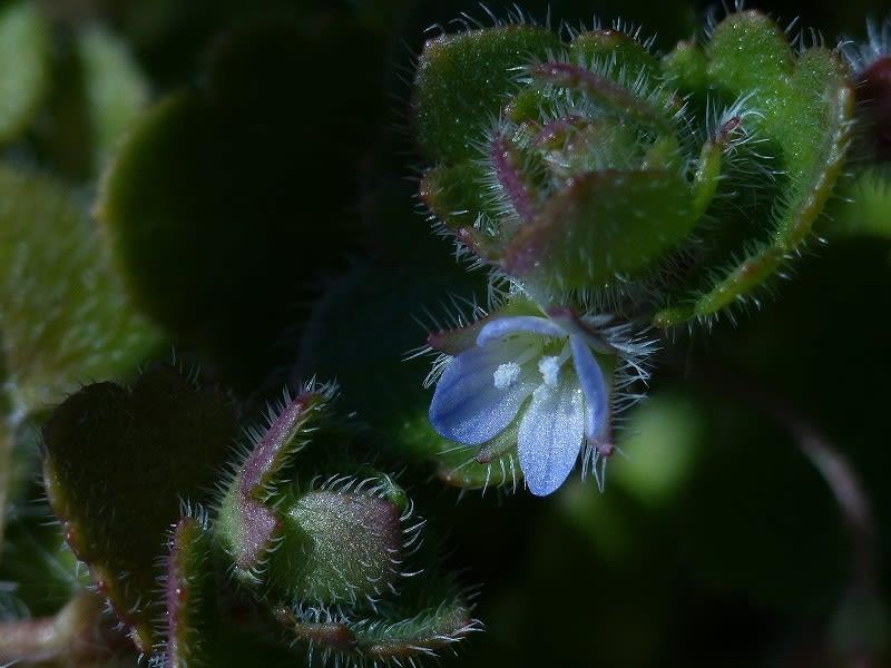 オオイヌノフグリの画像 p1_28