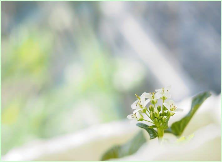畑わさびの花