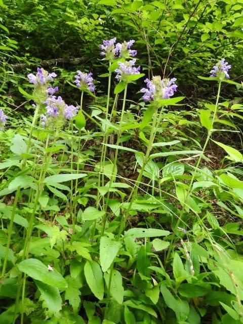 高ボッチ高原・鉢伏山で最近咲いている花 ウツボグサ(靱草)