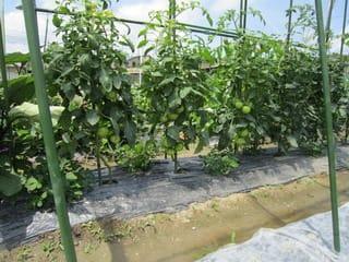 トマトの栄養過多、やや改善されました。 - 大好き!野菜の時間