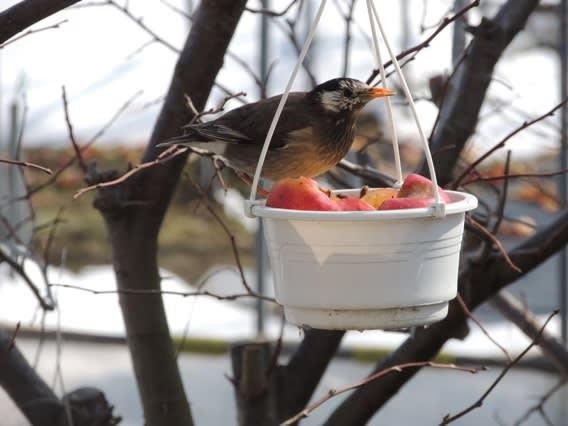 釣り鉢を見つけるムクドリ