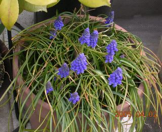DSCN0243A.JPG: 青い花、父デジカメで撮影