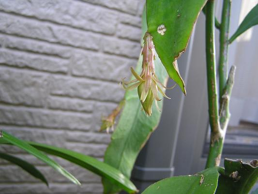 上記から2日後の蕾です。長く、大きく垂れ下がってきました。 蕾の初期はこのように垂れ下がっていますが、開花直前になると自然に上を向いて膨らみます。
