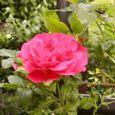 2006-6-2-2 ツル薔薇(名なし)