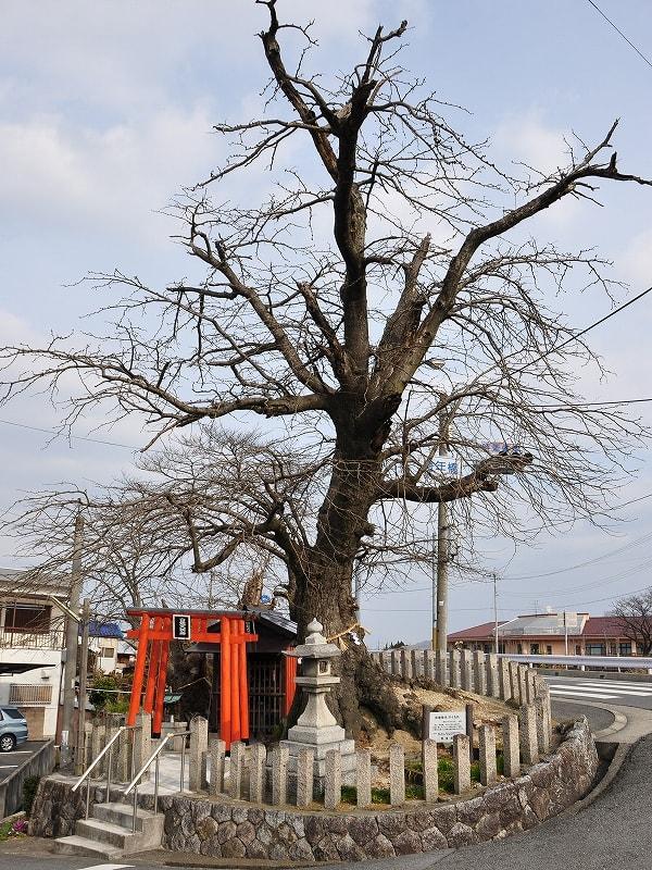 サイカチ雄木