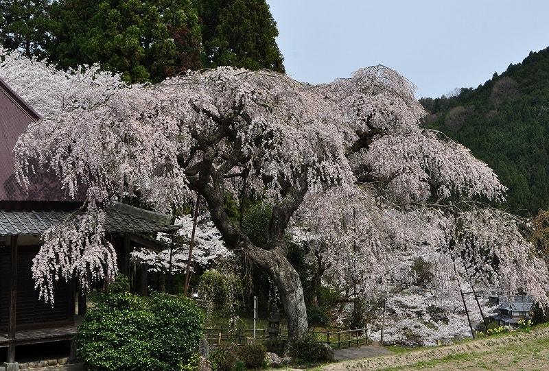 室生西光寺の枝垂桜
