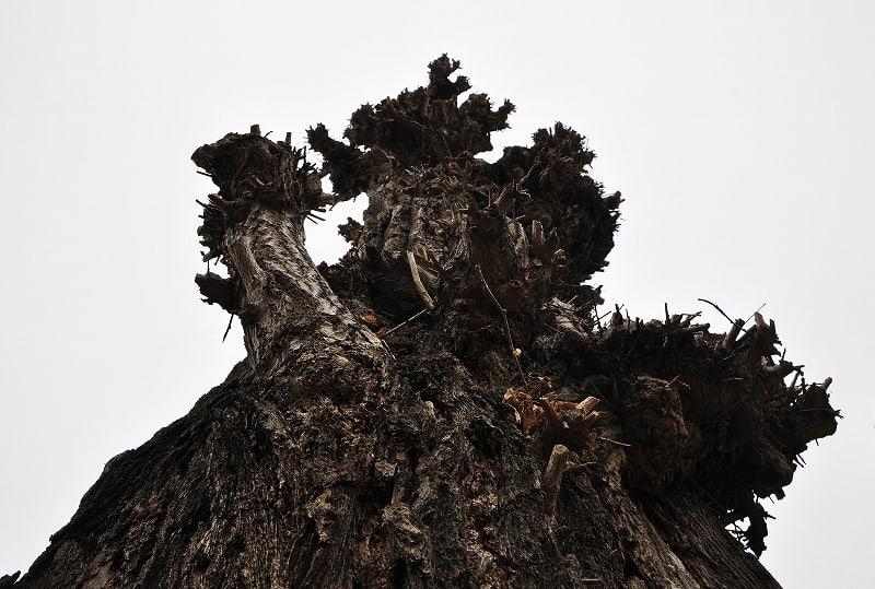 鎌田天神社イチョウの巨樹
