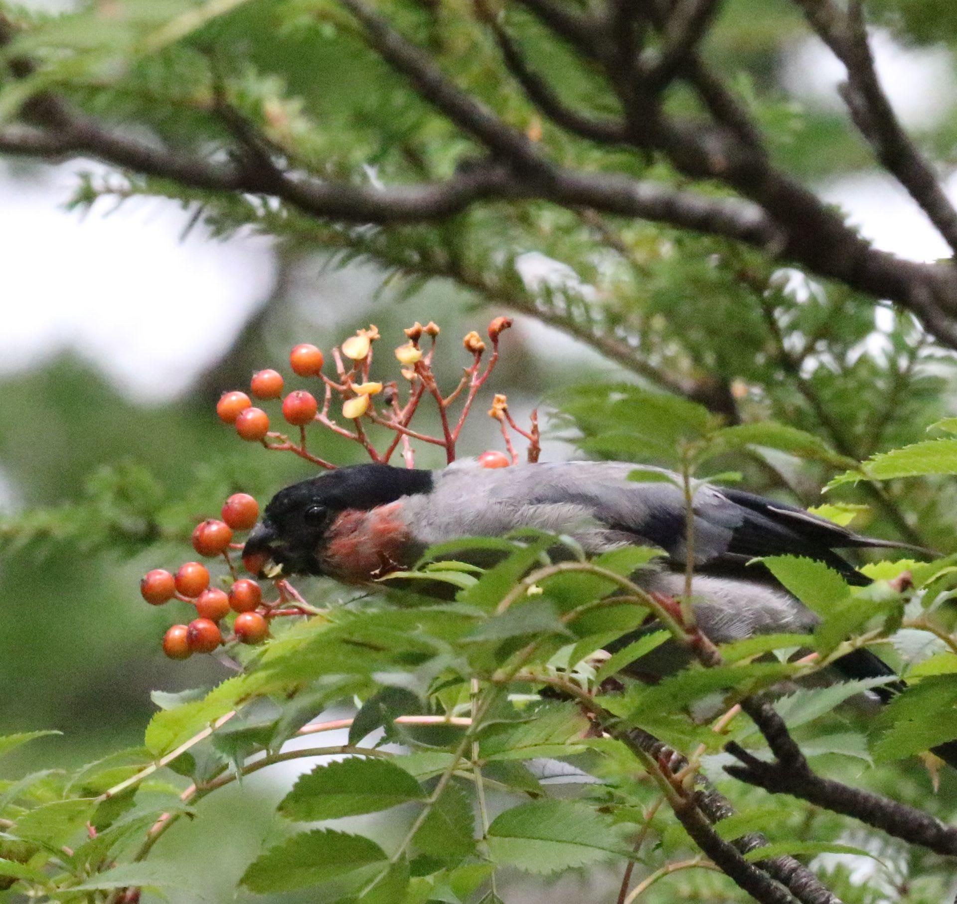 赤い鳥小鳥 - mahoroba.ne.jp