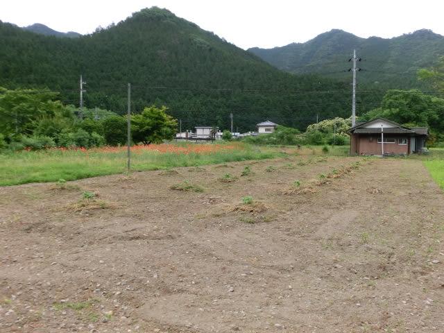 パパイヤ畑