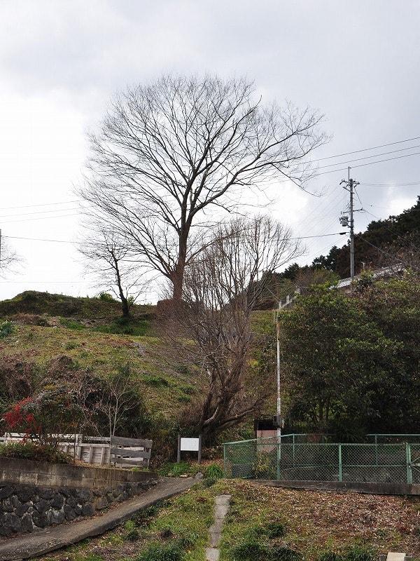 出屋敷町のヘラノキ 後方の大きな樹木はケヤキです