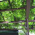 2011-6-4-22 ツル性植物