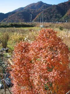 庭のモミジが紅葉