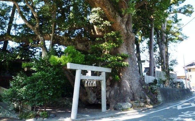 県道際の津村八柱神社の「楠の巨木」