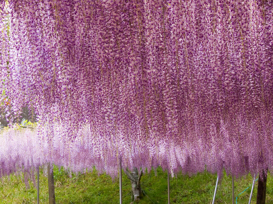 ありきたりな藤の花をわざわざ撮りに行くのも今更なもんだし、なんか変わっ... すきこそもののあは
