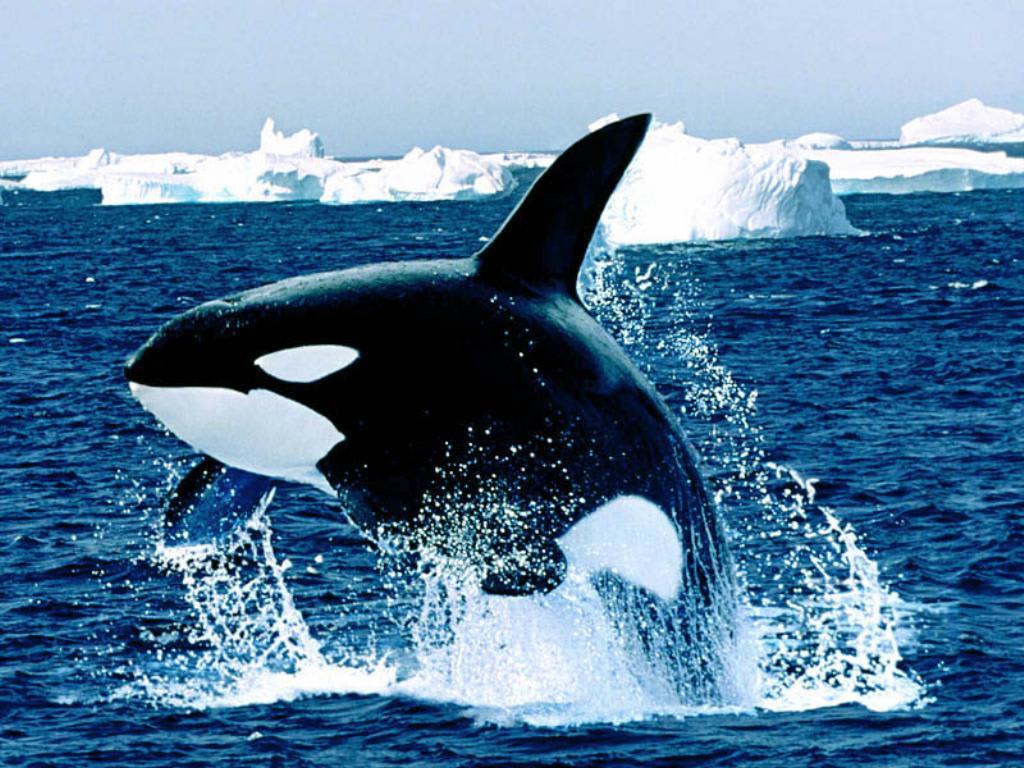 ホホジロザメの画像 p1_33