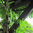 2011-7-1-11 ツル性植物