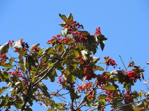 高ボッチ高原・鉢伏山で最近見る事の出来る実・種 カンボク(肝木)