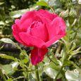 2006-5-28-15 ツル薔薇(名なし)