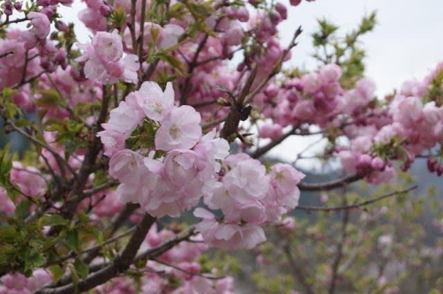 伊勢市横輪町の「横輪桜」見に行ってきました〜(^^)
