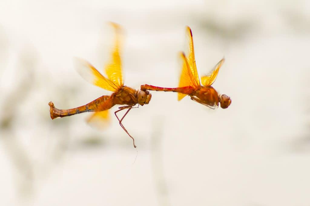 キトンボ(連結飛翔)の写真