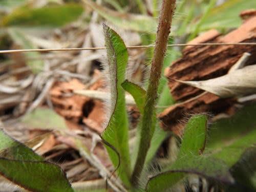 高ボッチ高原・鉢伏山で最近咲いている花 コウリンタンポポ(紅輪蒲公英)