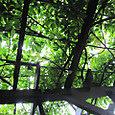 2011-6-4-25 ツル性植物