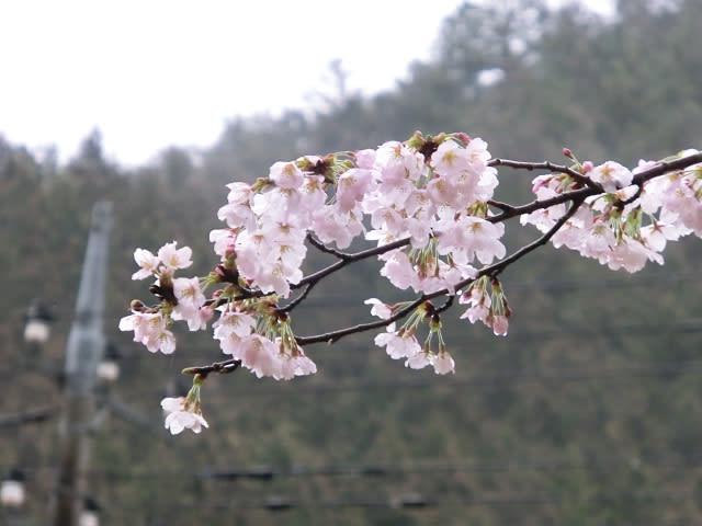 雨にぬれた桜の花