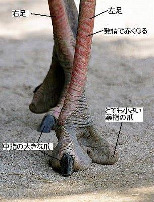 ダチョウの画像 p1_32