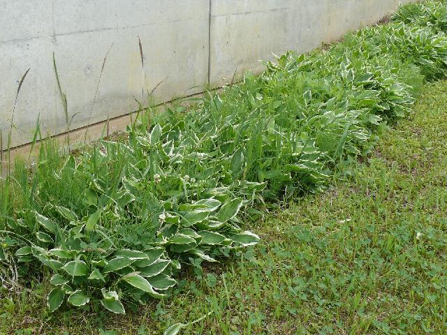 ギボウシの画像 p1_33