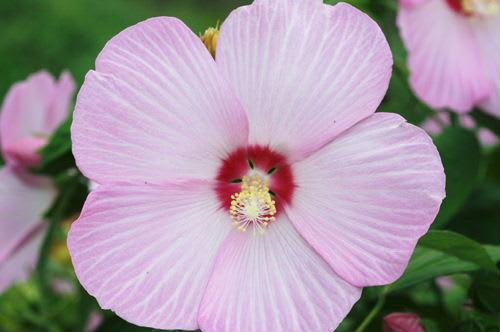 四季芙蓉_芙蓉の花 - 復活!やまがたの四季と暮らし